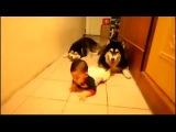 Хаски ползут вместе с малышом